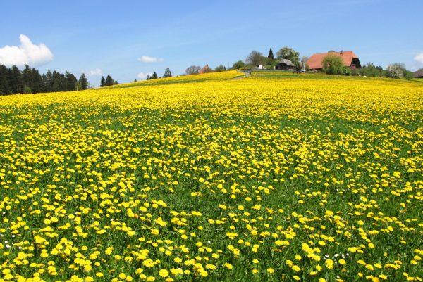 dandelion harvest for eating
